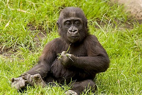 Western Gorilla (Gorilla gorilla), young animal