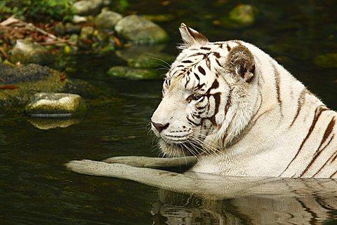 White Tiger (Panthera tigris) in Singapore Zoo, Singapore, Asia