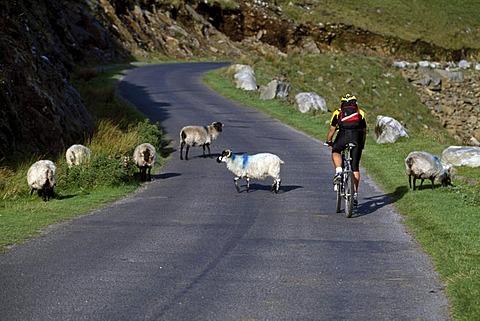 Biker meets sheep on a road, Ireland