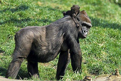 Western Gorilla (Gorilla gorilla) - 832-3414