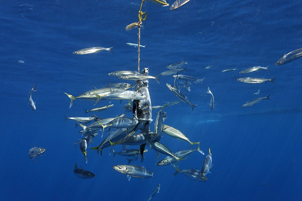 Bait to attract Great White Sharks (Carcharodon carcharias), Guadalupe Island, Mexico, Pacific, North America