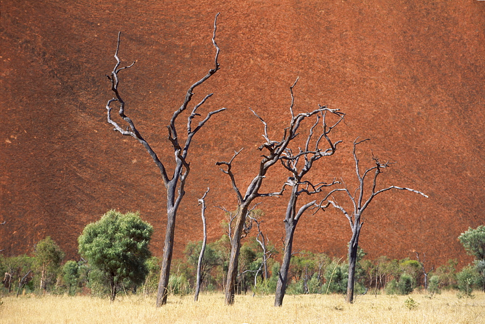Dead trees in front of Ayers Rock, Uluru National Park, Northern Territory, Australia, Oceania