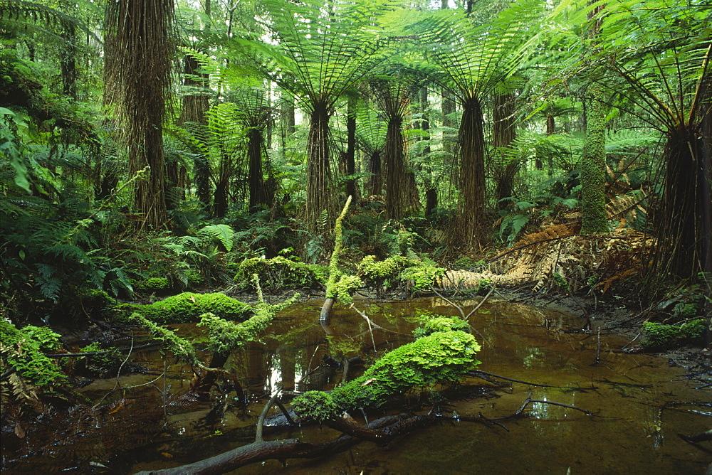 Rainforest, Whirinaki Forest, North Island, New Zealand, Oceania