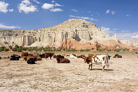 Herd of cows in front of the rock formations of the Kodachrome Basin State Park, Utah, USA, North America