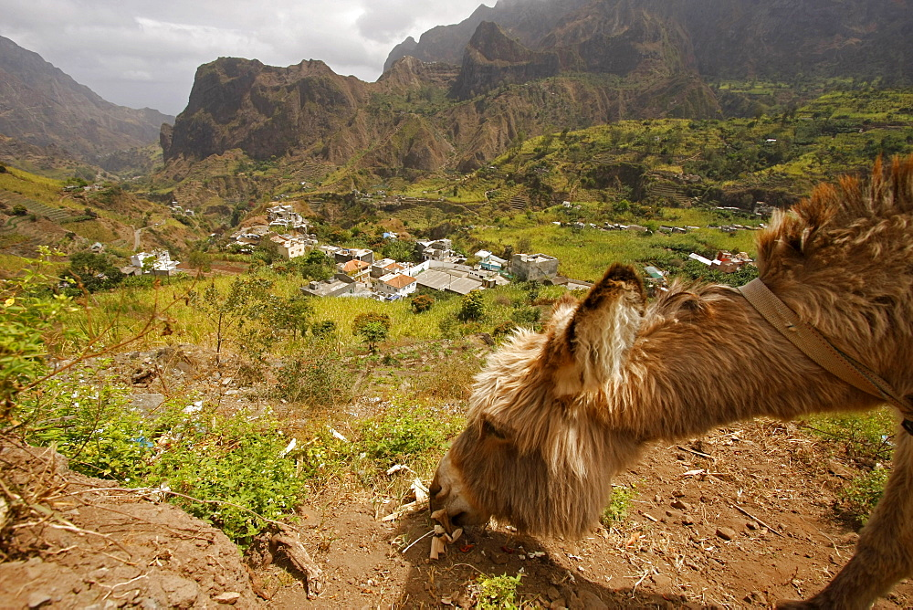 Donkey, Paul Valley on Santo Antao Island, Cape Verde Islands, Africa