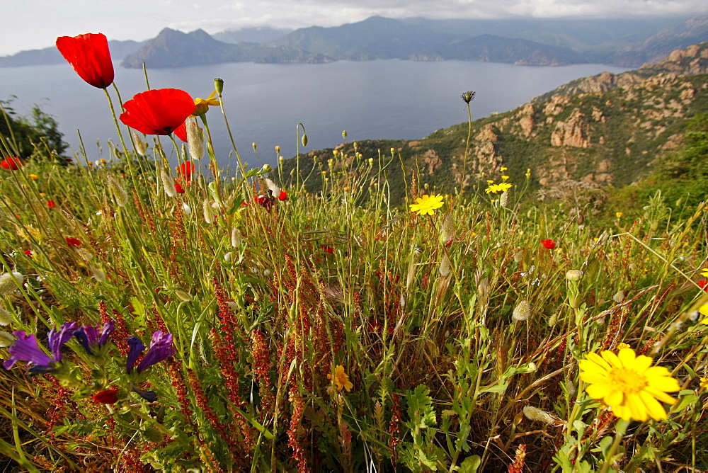 Wild flowers and poppies at the Gulf of Porto, Corsica Island, France, Europe