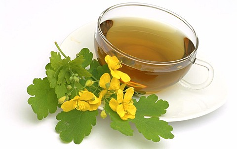 Herb tea made of Chelidonium majus, majur, Celandine