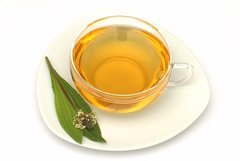Herb tea made of Plantago laneolata, Long leaved plantain, Ribwort plantain