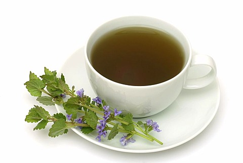 Herb tea made of Ground ivy, Groundivytea, Glechoma herderaceum, Edera terrestra