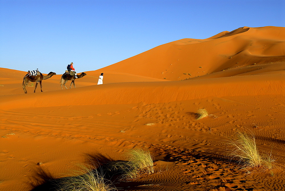 Camel rider being guided through the desert, Erg Chebbi, Merzouga, Morocco, North Africa