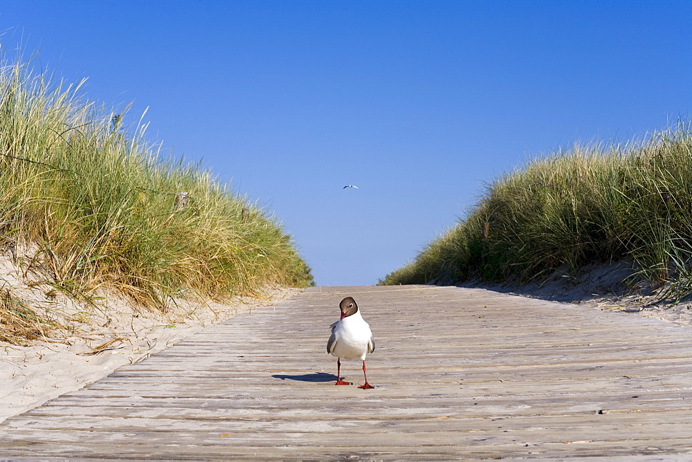 Seagull on a path through the dunes, Langeoog Island, East Frisian Islands, East Frisia, Lower Saxony, Germany, Europe