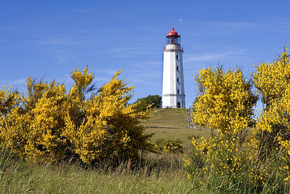 Gorse in front of Dornbusch Lighthouse, Hiddensee Island, Baltic Sea, Mecklenburg-Western Pomerania, Germany, Europe
