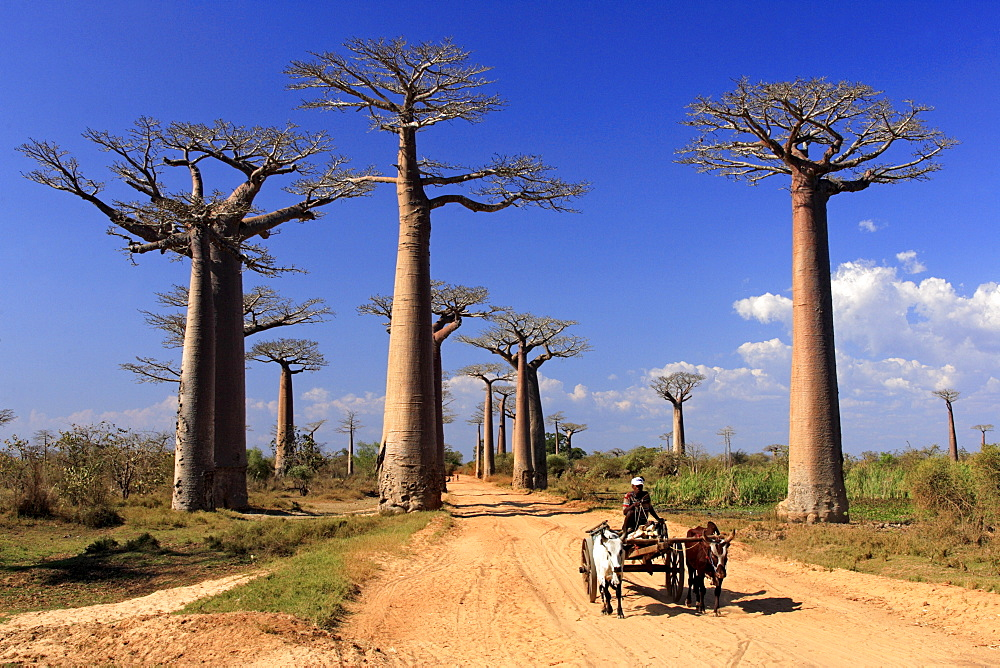 Avenue of the Baobabs Grandidier's Baobab (Adansonia Grandidieri), with ox-cart, Morondava, Madagascar, Africa