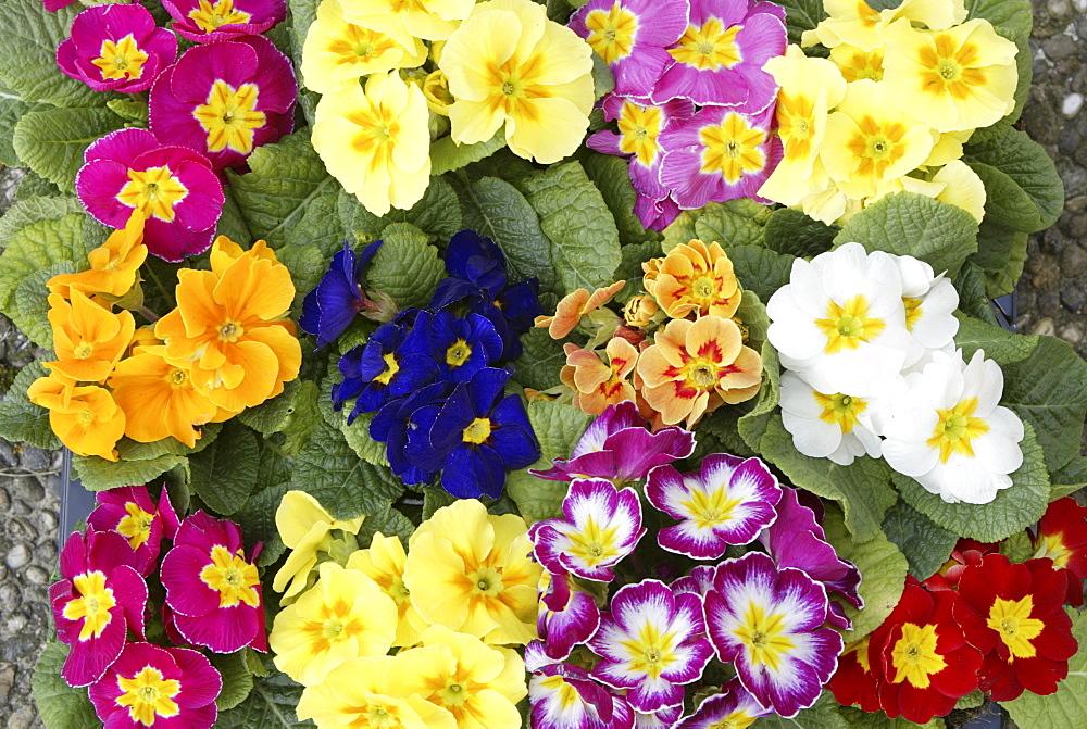 Primula (Primula), assorted varieties, flowers, Heddesheim, Germany