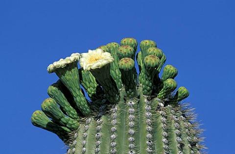 Candelabra Cactus, or Saguaro or Giant Cactus (Carnegia gigantea), flowering, Sonora Desert, Arizona, USA