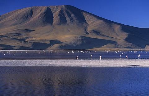 Flamingos at Laguna Colorada, National Park Eduardo Avaroa, Bolivia