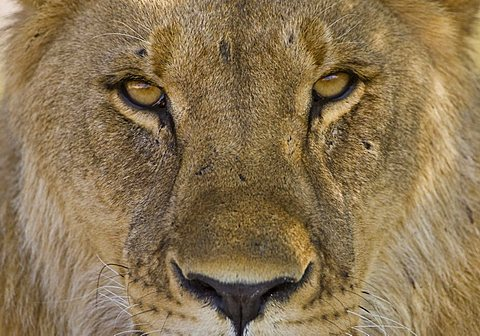Lion portrait (Panthera leo)