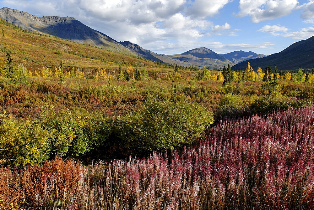 Red fireweed at Tombstone Territorial Park, Dempster Highway, Yukon Territory, Canada