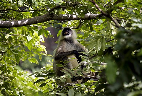 Black-footed Gray Langur (Semnopithecus hypoleucos), monkey in the National Wildlife Sanctuary Kumbalgarh in the Aravalli mountains in Kumbalgarh, north of Udaipur, Rajasthan, India, Asia