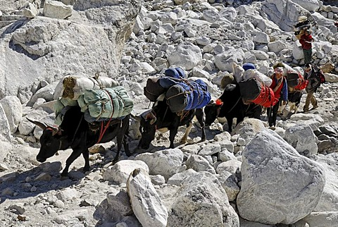 Yak caravane crossing the Khumbu glacier moraine, Khumbu Himal, Sagarmatha National Park, Nepal