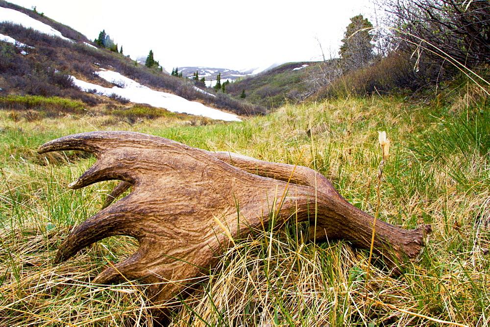 Dropped moose antler, Kluane National Park, Yukon Territory, Canada