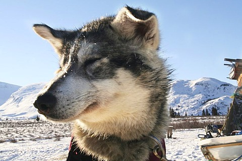 Portrait of sled dog, floppy ears, Yukon Territory, Canada