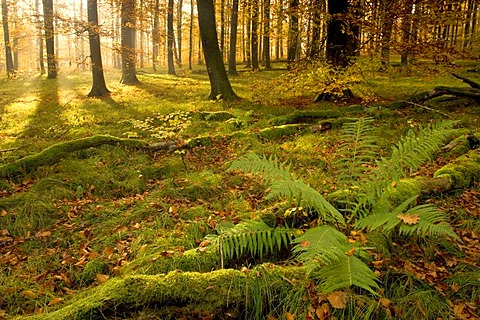 Sunbeams shining through an autumn forest, Schwaebische Alb, Germany