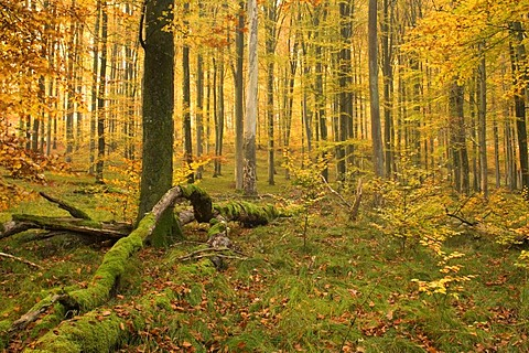 Autumn forest, colourful foliage and toppled, moss-covered tree trunks on the forest floor, Schwaebische Alb, Germany