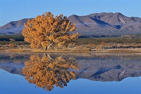 Fremont Cottonwood tree (Populus fremontii) in the Bosque del Apache National Wildlife Refuge, New Mexico, USA