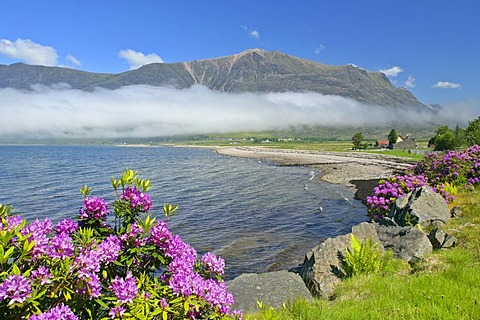 Morning fog over Loch Torridon and Torridon Mountains, spring, blooming Rhododendrons along the coast, Loch Torridon, Western Highlands, Scotland, United Kingdom