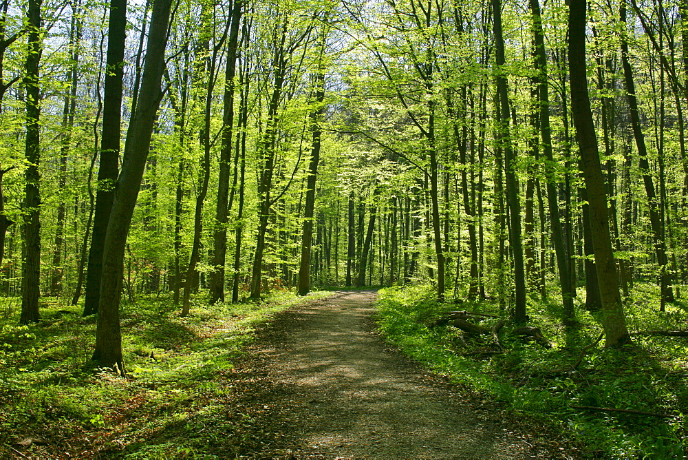 Forest at springtime, Baden-Wuerttemberg, Germany, Europe