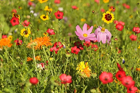 Colourful summer flower meadow blossoming with Cosmos (Cosmos bipinnatus), Annual Mallow or Rose Mallow (Lavatera trimestris), Pot Marigold or English Marigold (Calendula officinalis), Marigold (Tagetes), Flowering Flax (Linum grandiflorum) and Dwarf Morn
