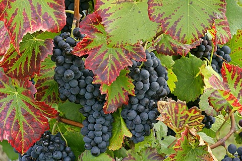 Grapevines in vineyard, blue grapes hanging from grapevines in autumn, coloured vine leaves, Baden-Wuerttemberg, Germany, Europe