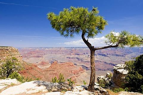 Pine (Pinus) at the Rim Trail, South Rim, Grand Canyon National Park, Arizona, USA