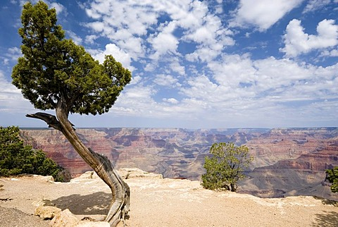 Old pine on the Hermits Rest Route, South Rim, Grand Canyon National Park, Arizona, USA