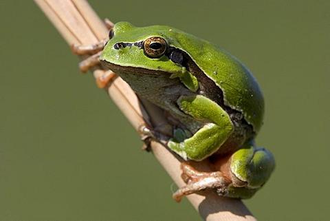 European tree frog Hyla arborea