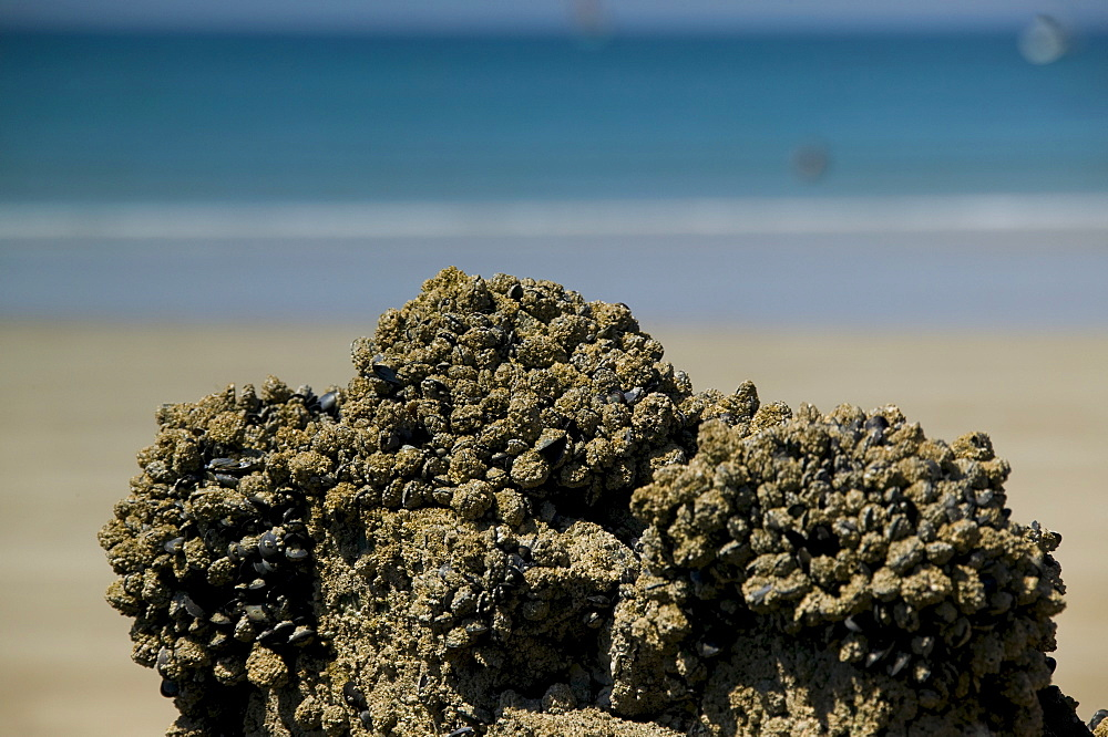 Mussel cluster on the beach