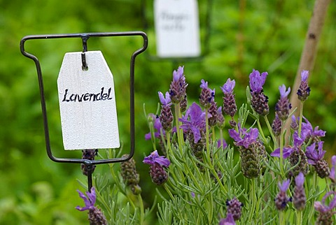 "Sign reading ""Lavendel"" (lavender) next to lavender plants in an herb garden"