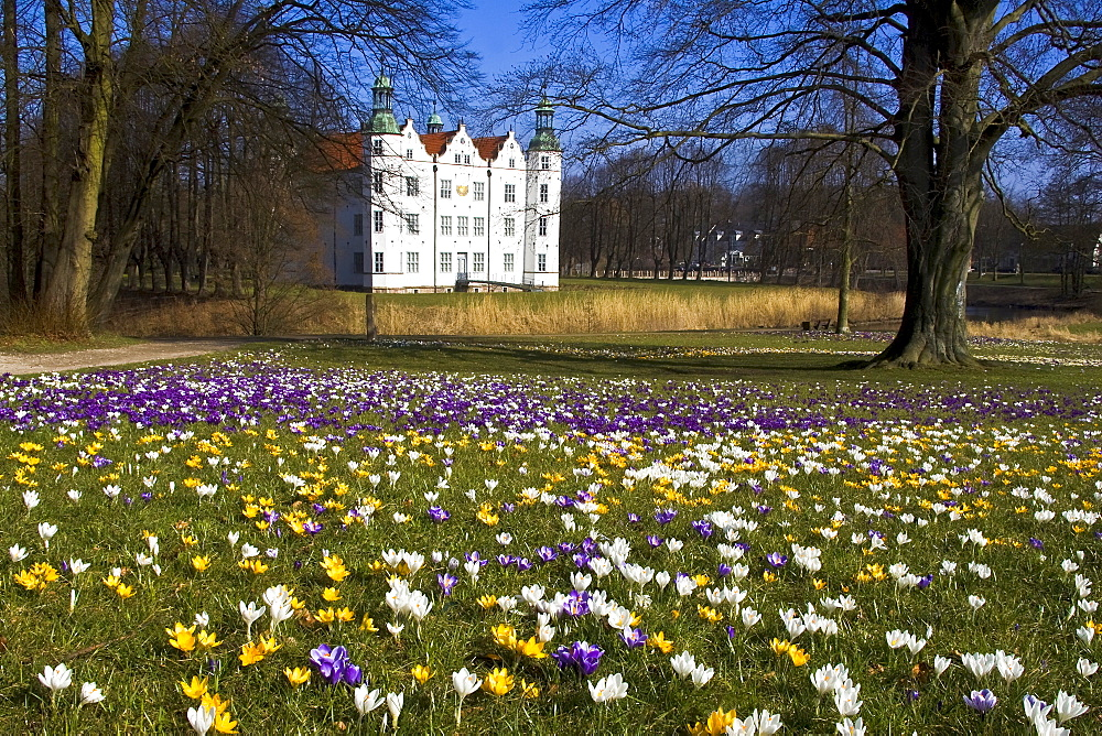 Flowering crocuses gardens of the white moated castle in Ahrensburg, Schleswig-Holstein, Germany,