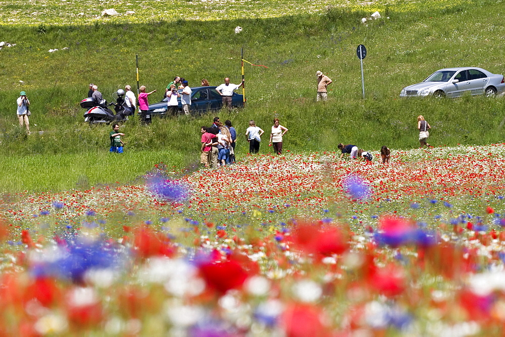 Flowering meadow viewed by tourists, Piano Grande or Great Plain, Monti Sibillini National Park near the village of Castelluccio, Umbria, Italy, Europe