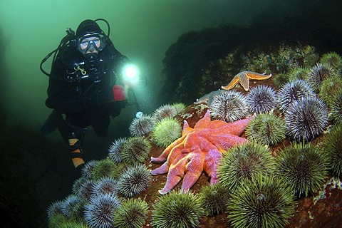 Diver and Purple sunstar, Northern sunstar, Smooth sunstar (Solaster endeca), Barents Sea, Russia, Arctic