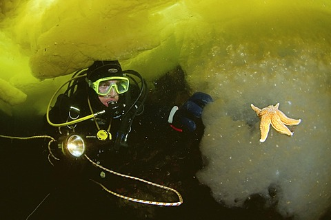 Diver and Common Starfish (Asterias rubens), ice-diving, White Sea, Karelia, north Russia, Arctic
