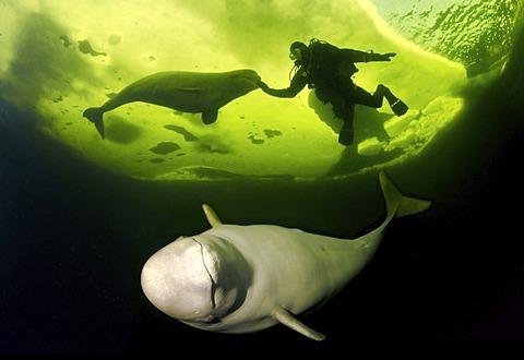Diver and Belugas, White whales (Delphinapterus leucas), White Sea, Kareliya, north Russia, Arctic