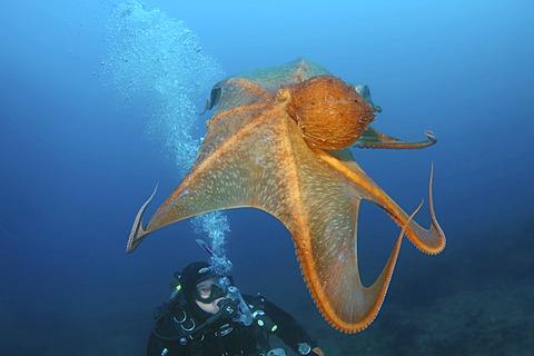 Giant Pacific octopus or North Pacific Giant octopus (Enteroctopus dofleini), Japan Sea, Far East, Primorsky Krai, Russian Federation