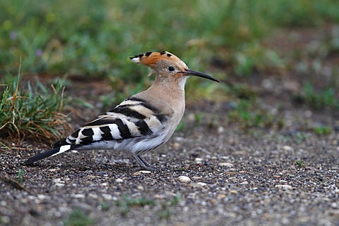 Hoopoe (Upupa epops), on the ground on a track, Lake Neusiedl, Burgenland, Austria, Europe