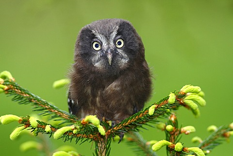 Boreal Owl or Tengmalm's Owl (Aegolius funereus), juvenile perched on a spruce, Neunkirchen, Siegerland region, North Rhine-Westphalia, Germany, Europe