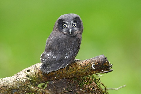 Boreal Owl or Tengmalm's Owl (Aegolius funereus), juvenile perched on a branch, Neunkirchen, Siegerland region, North Rhine-Westphalia, Germany, Europe