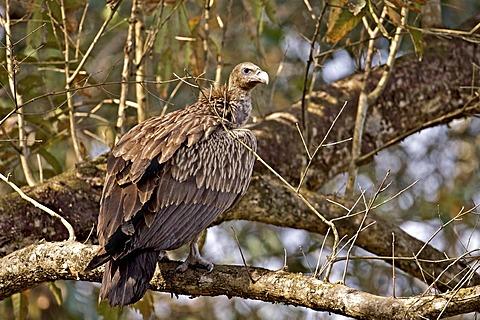 Slender-billed Vulture (Gyps tenuirostris) in Kaziranga National Park in Assam, Northeast India, Asia
