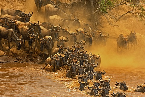 Herd of Wildebeest, Wildebai, or Gnu (Connochaetes) crossing the Mara river in Masai Mara, Kenya, Africa - 832-367336