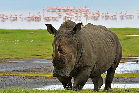White Rhinoceros or Square-lipped rhinoceros (Ceratotherium simum), Lake Nakuru National Park, Kenya, Africa